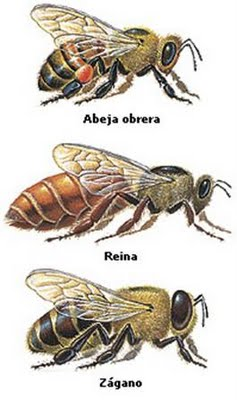 tipos-abejas