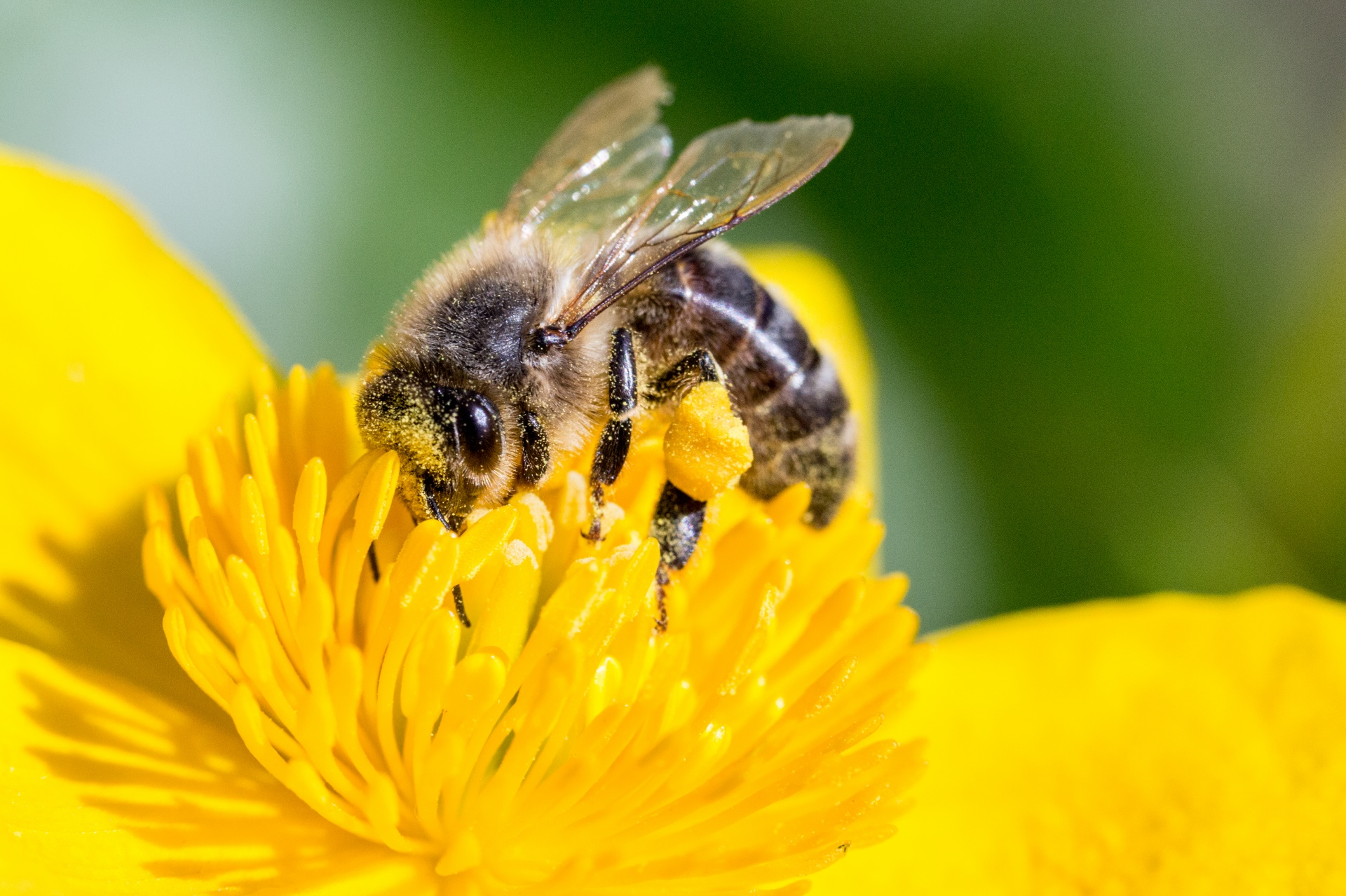pollinating-bee